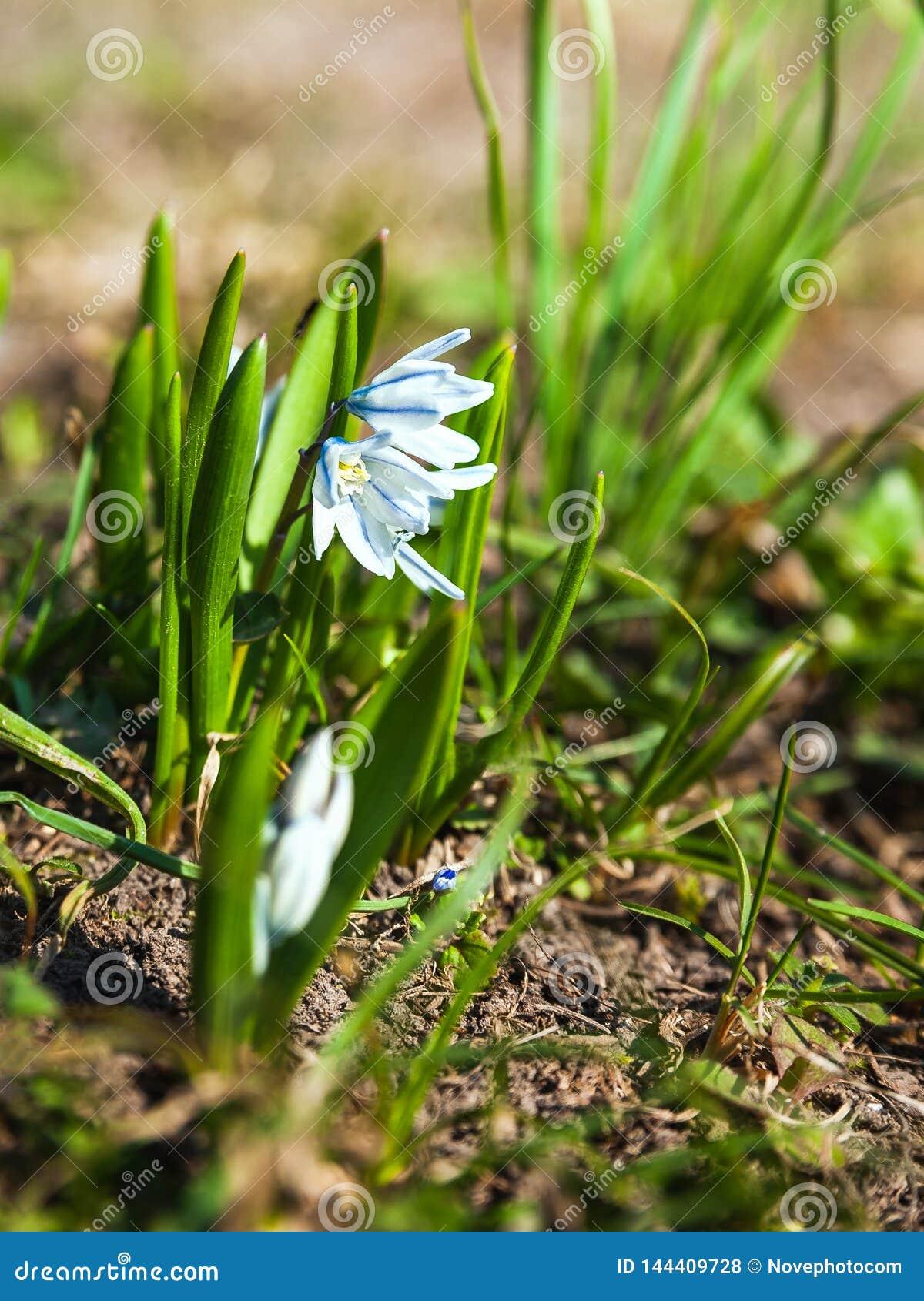 Las primeras flores de la primavera son snowdrops