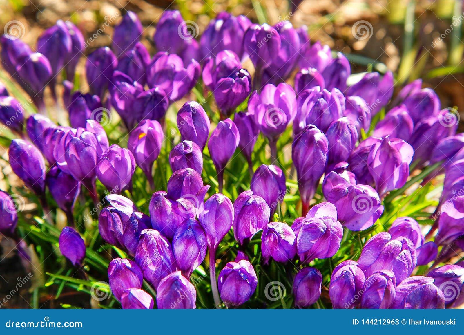 Las primeras flores del azafr?n p?rpura florecieron en primavera temprana