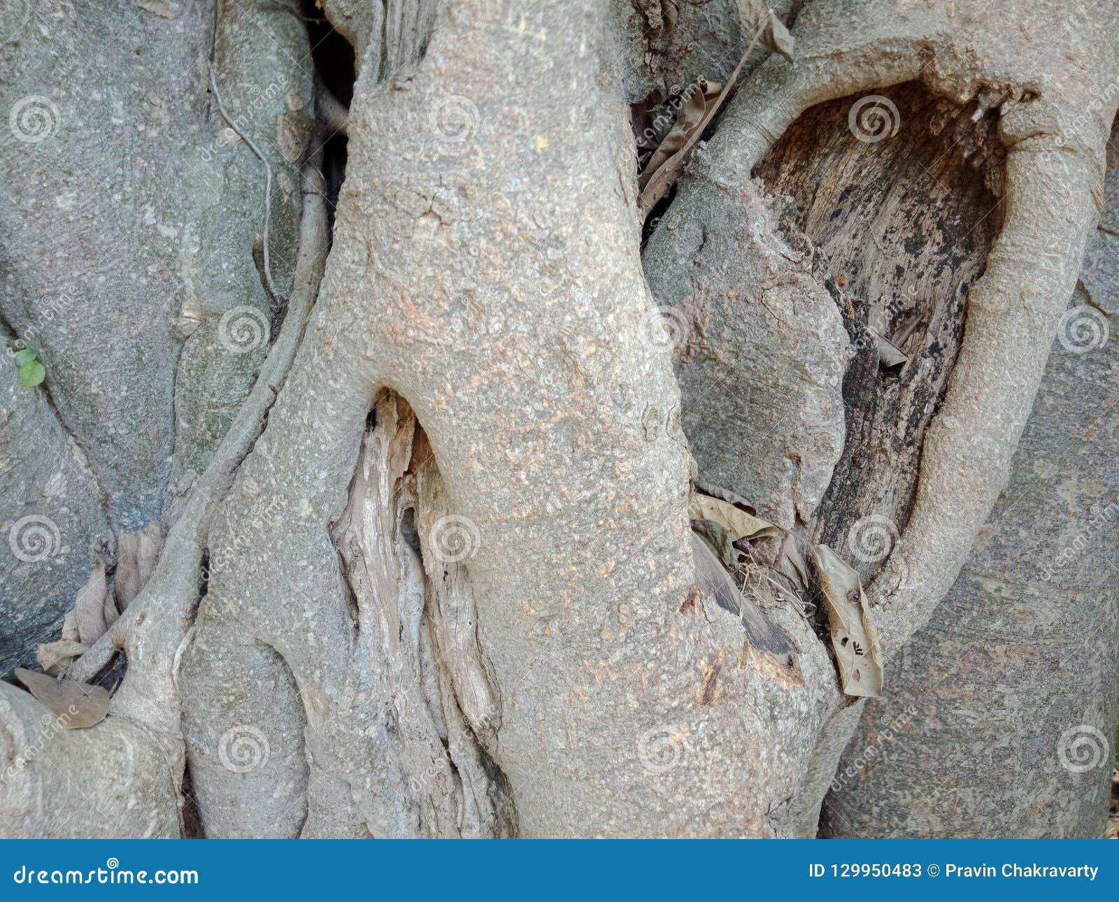 Las Raíces Crecidas Sobre Roca Grande Raíces Del árbol Del