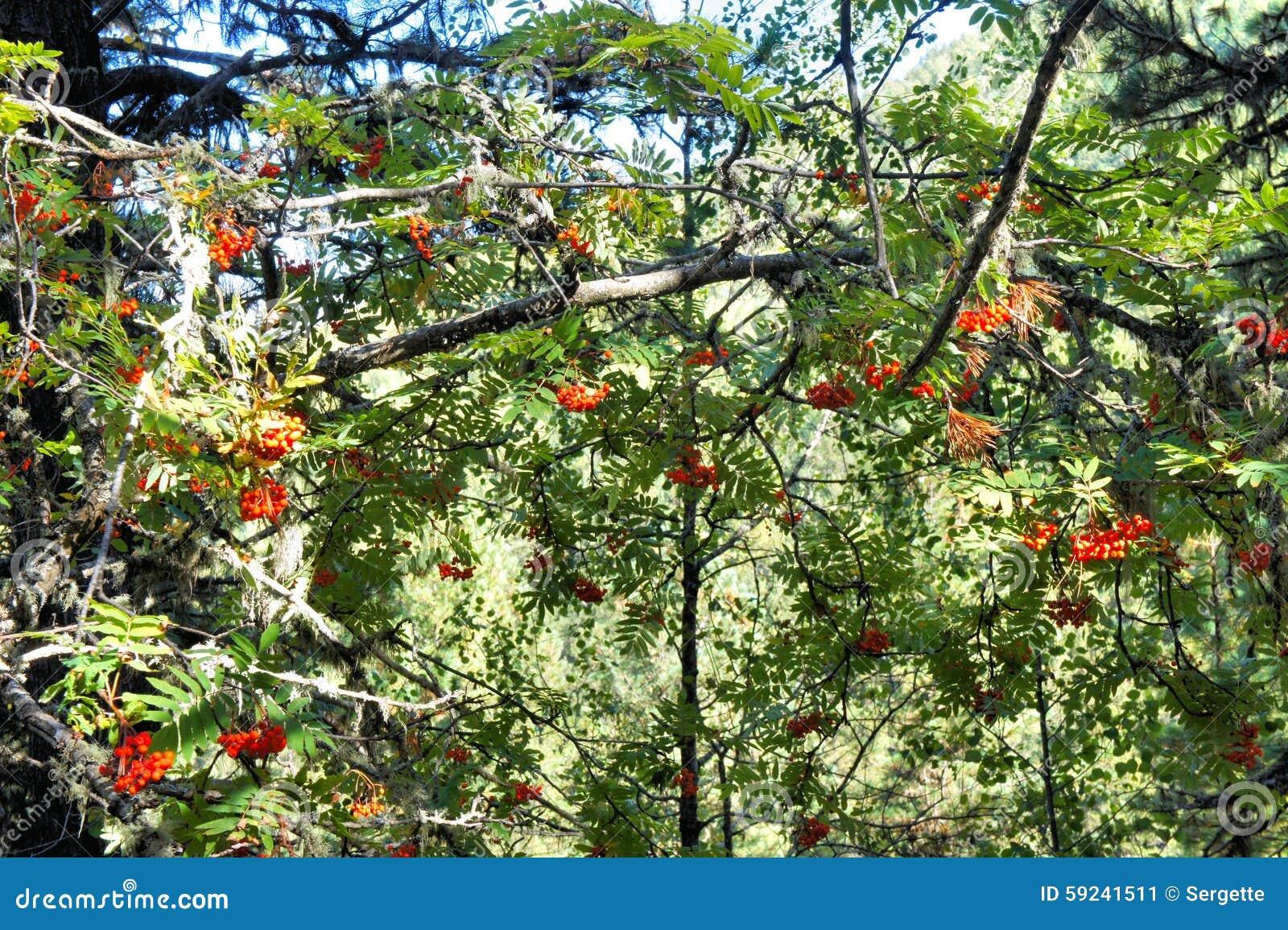 Download Las Ramas Con La Ceniza Madura, Roja Siberia Imagen de archivo - Imagen de color, imagen: 59241511