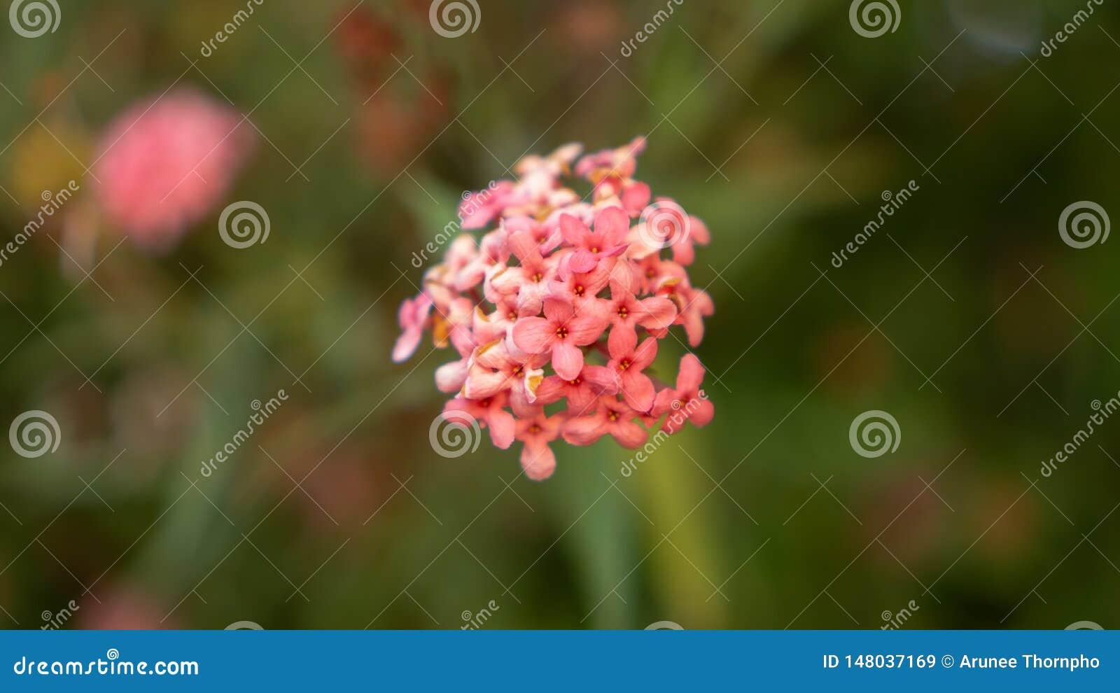 Las ramas de la flor rosada del penta del arbusto que florece en el verdor borroso salen de follaje, lo saben como la rosa de Pan