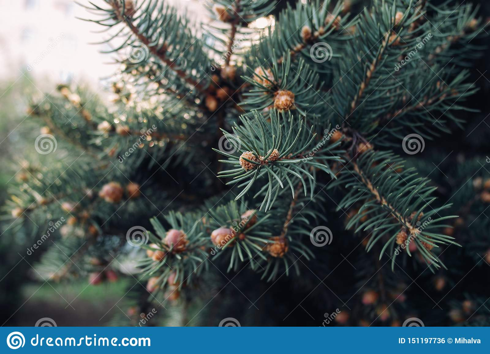 Las ramas del verde de la picea con los conos