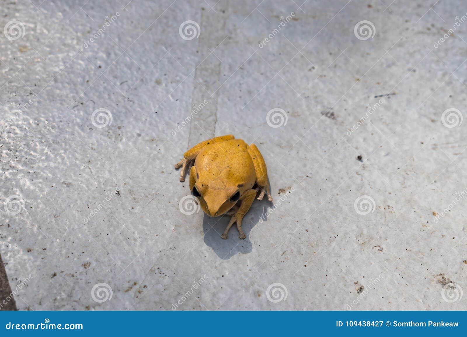 Las ranas amarillas son venenosas en Asia