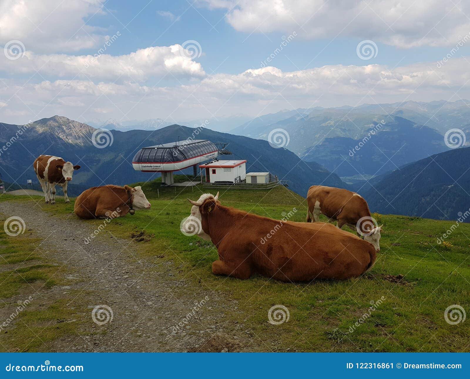 Las vacas que descansan sobre alto alpen la montaña
