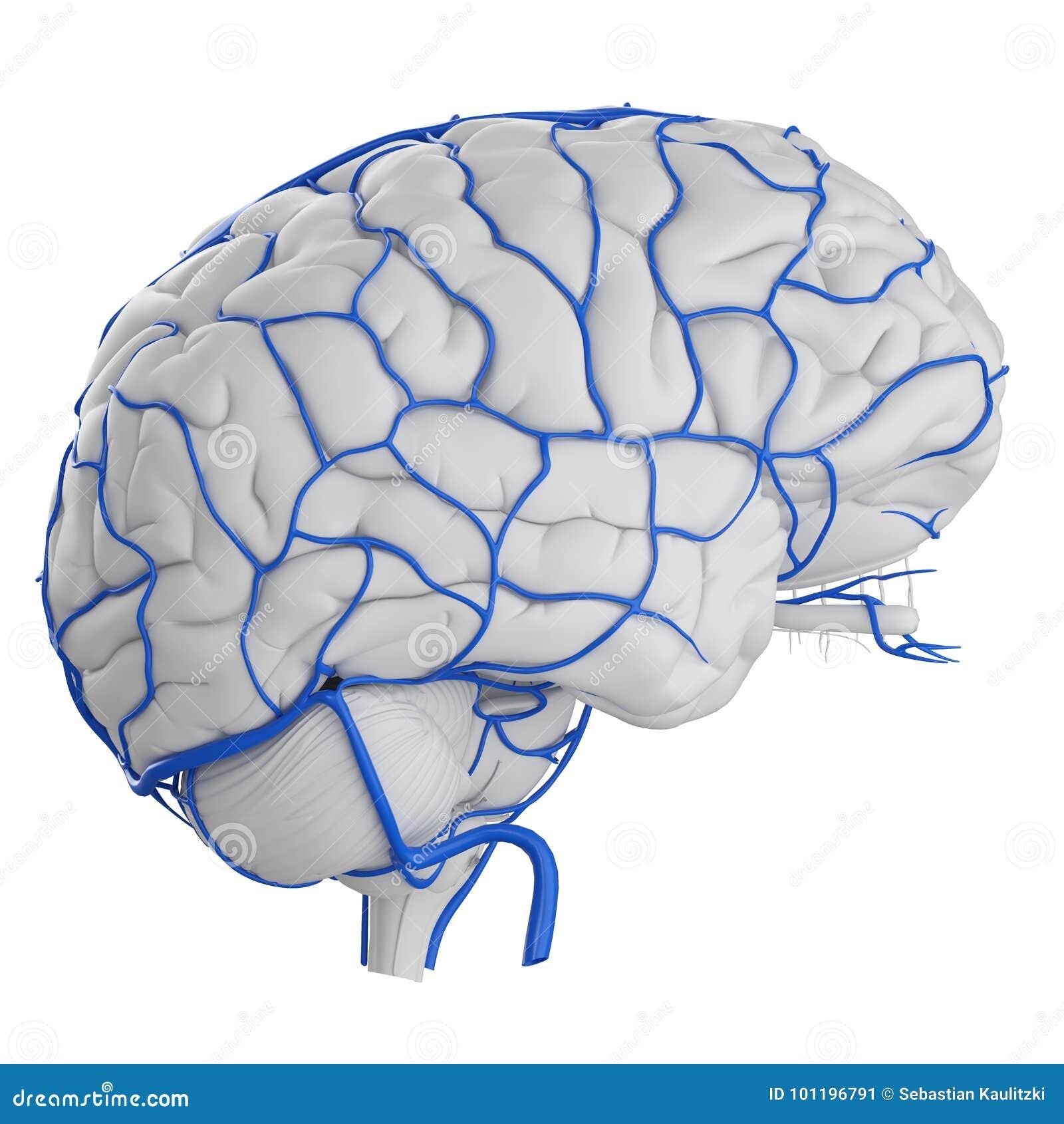 Las venas del cerebro