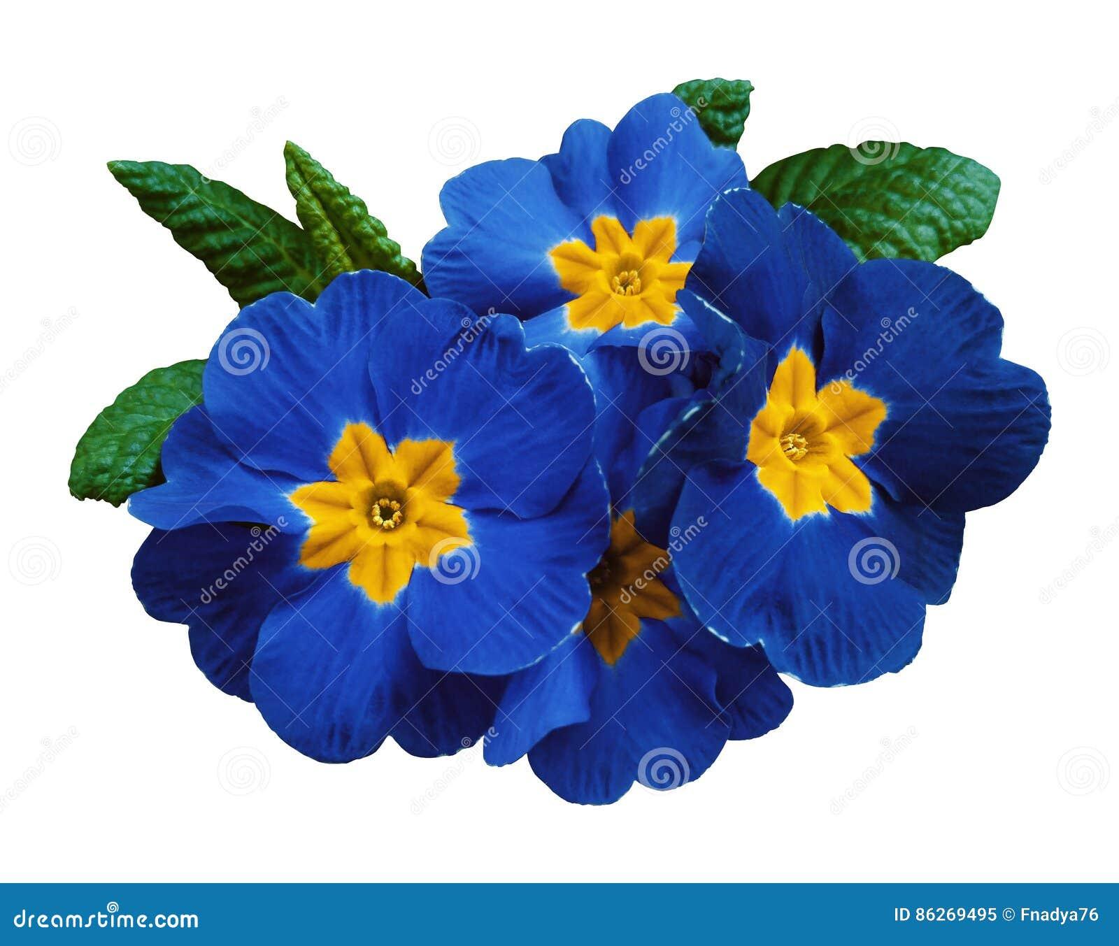 Las violetas azules florecen, fondo aislado blanco con la trayectoria de recortes primer Ningunas sombras Para el diseño