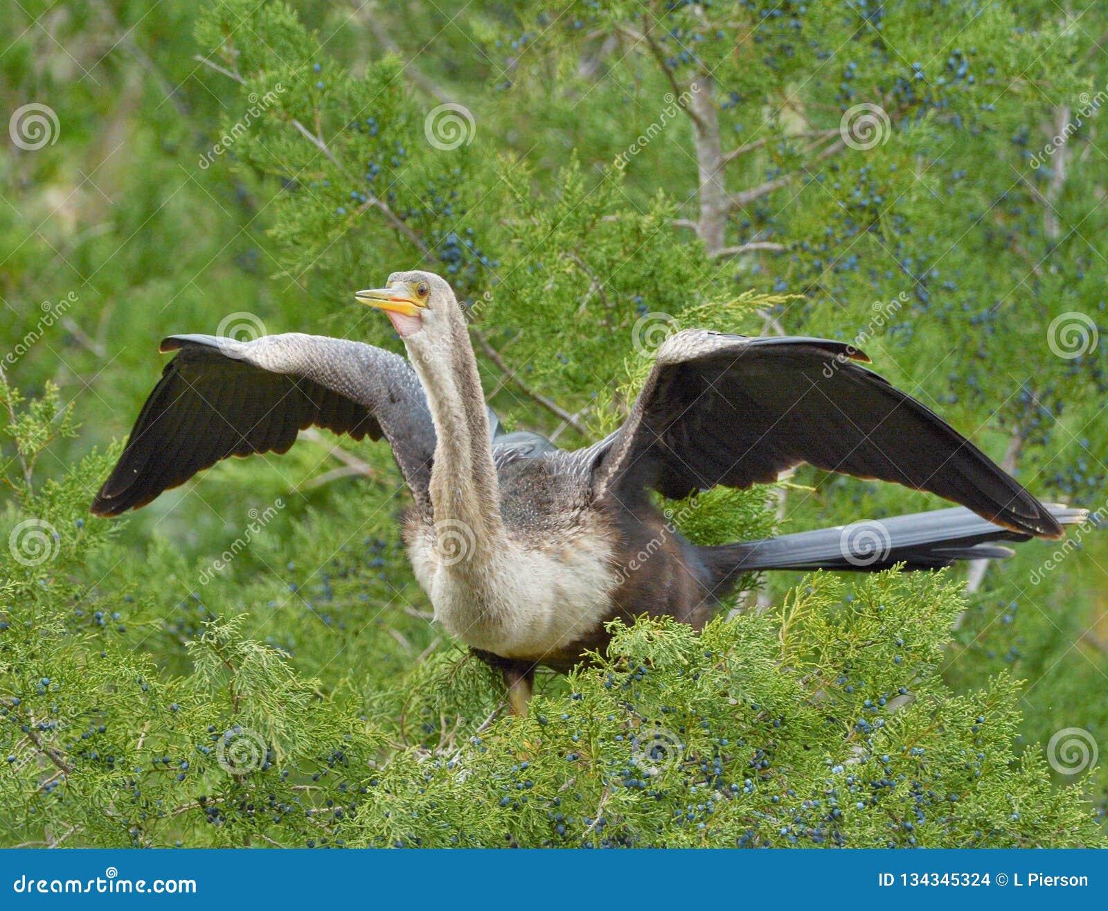 Las zambullidas sucesivas rizan las plumas del anhinga, requiriendo el pájaro pasar mucho de su atusarse del tiempo
