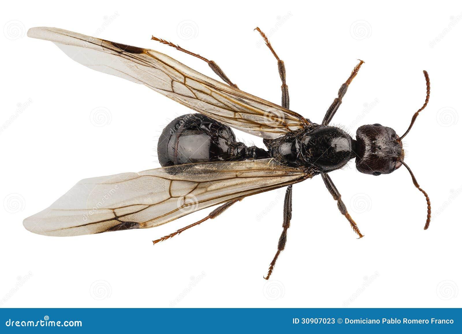 lasius du niger d 39 esp ces de fourmi de jardin ailes par noir photos stock image 30907023. Black Bedroom Furniture Sets. Home Design Ideas