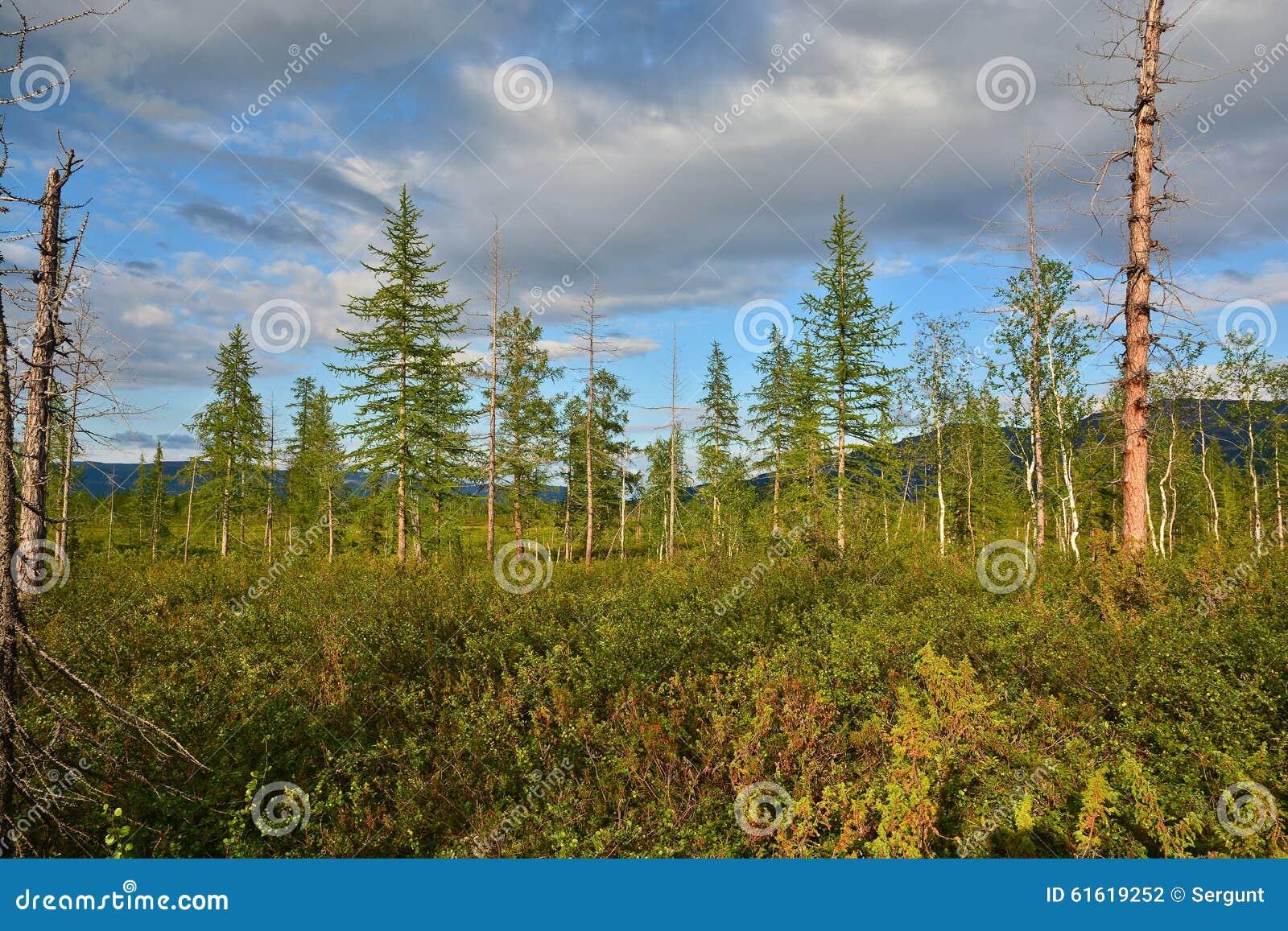 Lasowa tundra w lecie