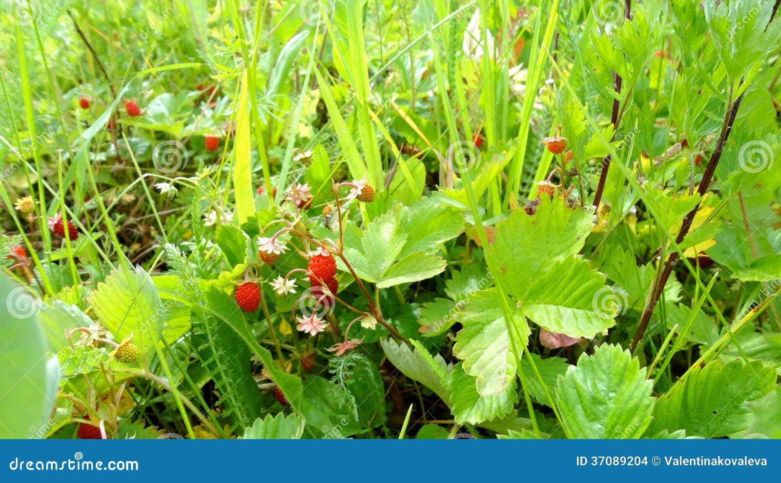Download Lasowi Truskawek Pola W Rosja Zdjęcie Stock - Obraz złożonej z środowisko, tło: 37089204