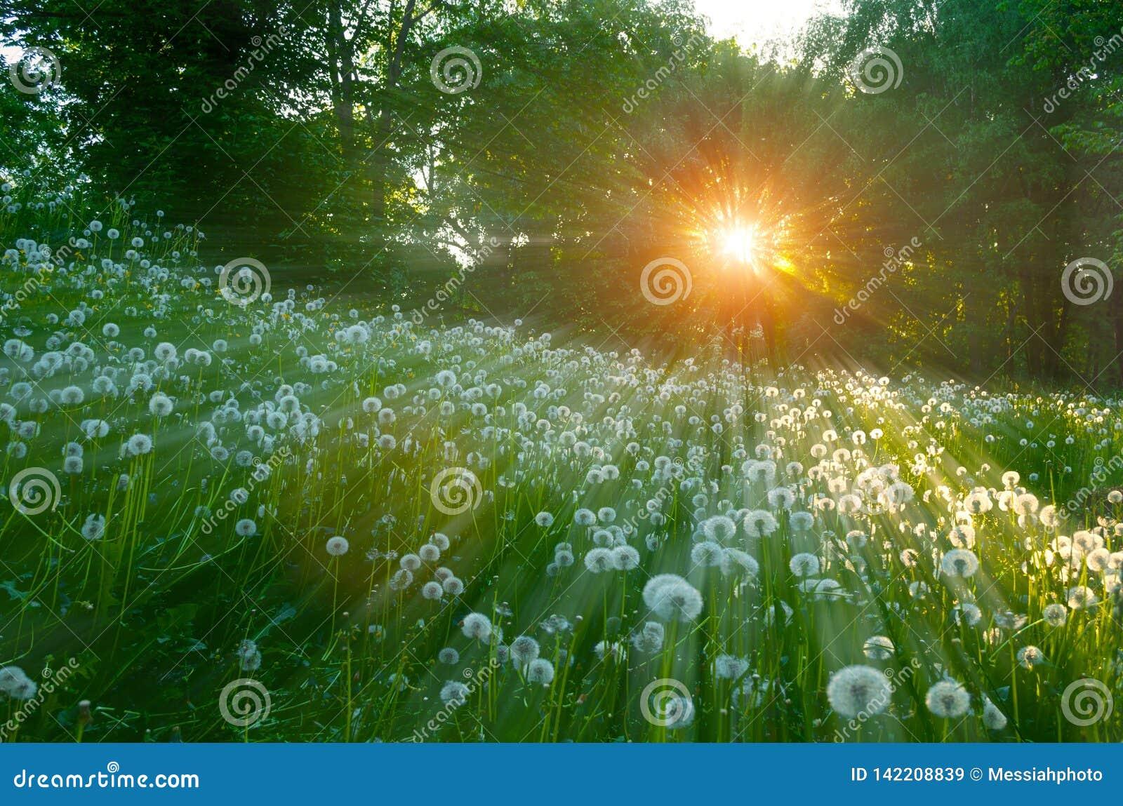 Lasowy zmierzchu krajobraz drzewa i puszyści dandelions na przedpolu pod miękkim światłem słonecznym -