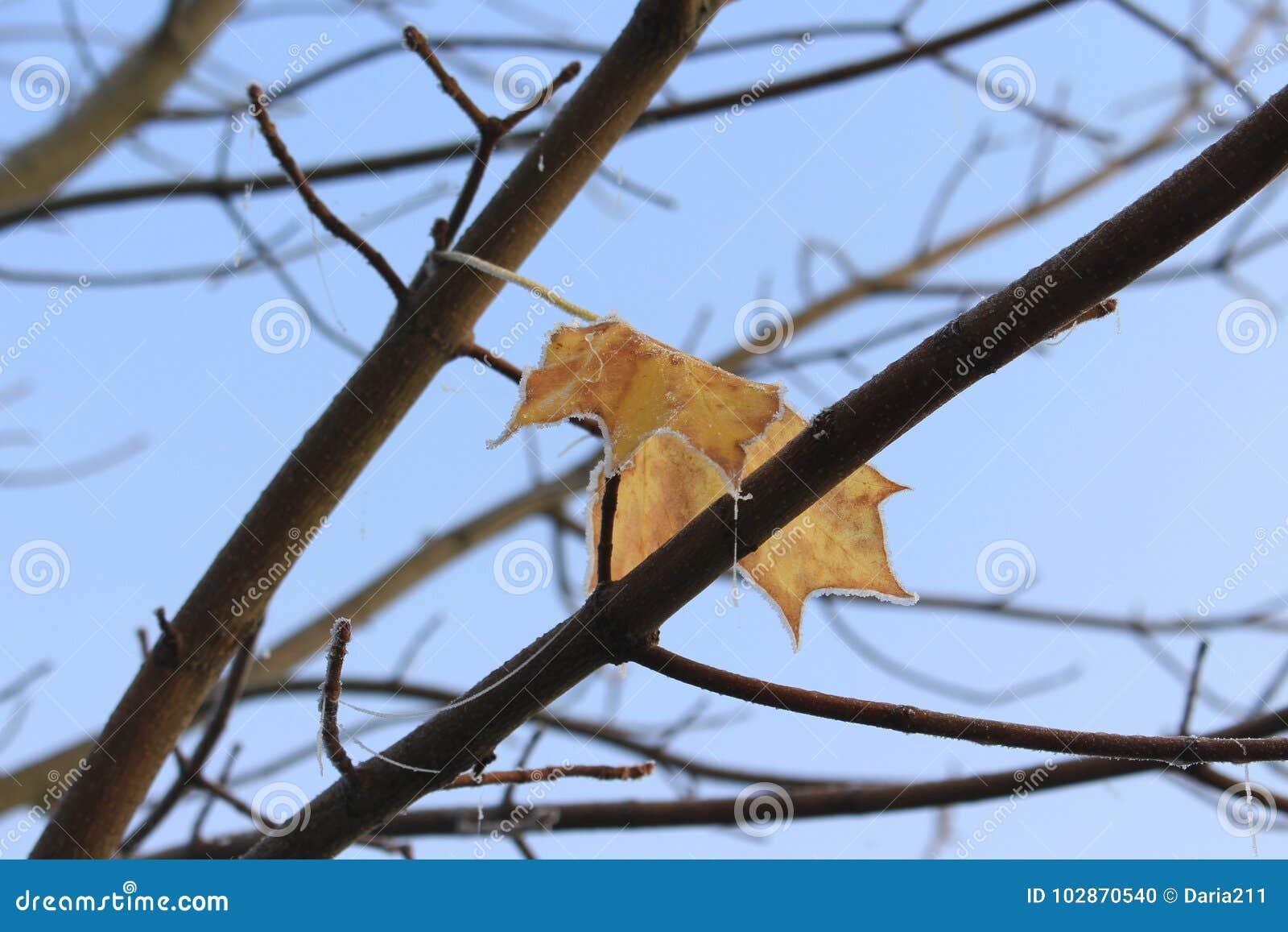 Last frozen leaf of maple tree