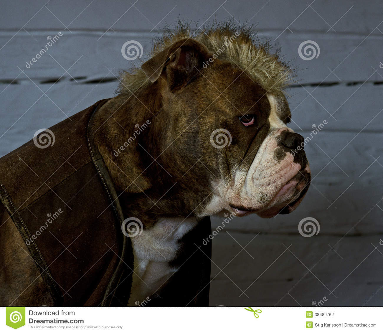 The Last Of The Mohicans     bulldog Stock Photo - Image of