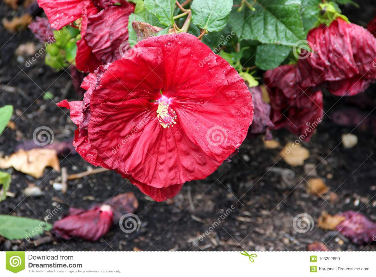 A Red Chinese Hibiscus Flower With Water Drops On Its Petals Stock