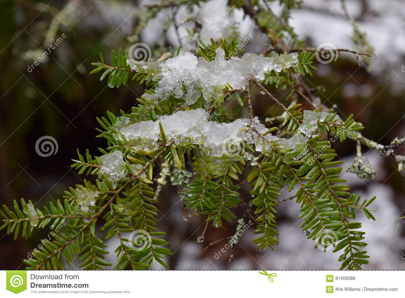 Last snow and ice early spring on a hemlock tree