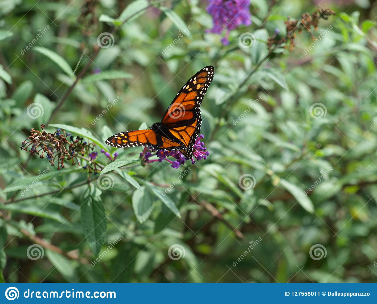 Last Monarch Of Season >> A Migrating Monarch Is One Of The First Arriving This Season Stock