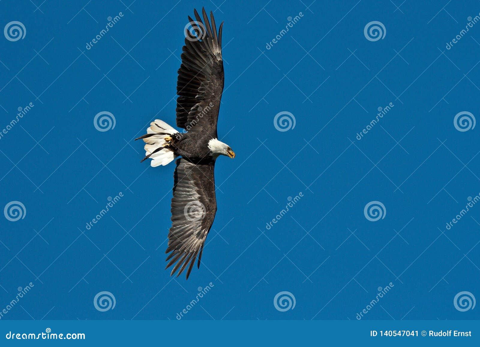 Lat летая белоголового орлана leucocephalus haliaeetus в парке