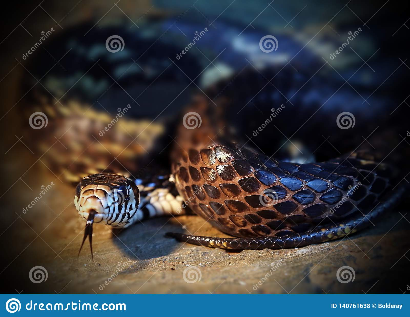 Lat сумматора крупного плана европейский Гадюка Berus Ядовитая змейка компоситов древесина песни природы влюбленности grouse одич