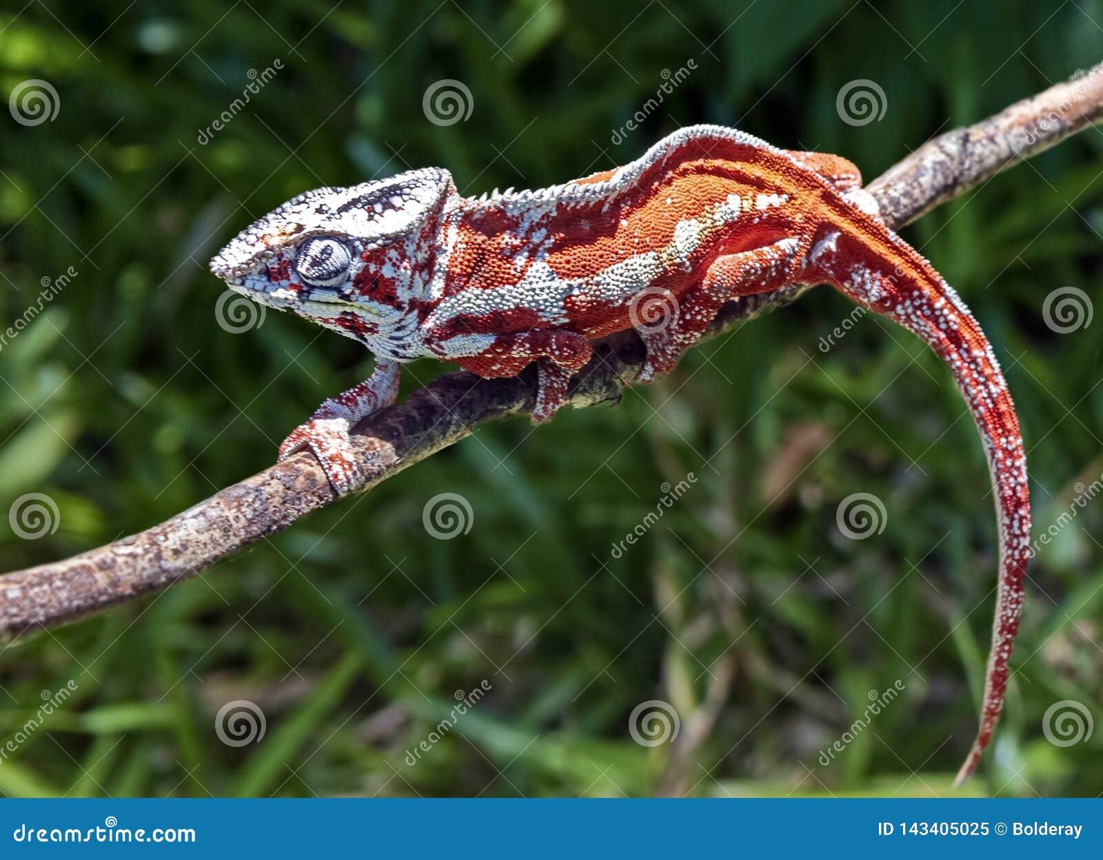 Lat de caméléons € de Chamaeleonidae» une famille des lézards adaptés au mode de vie boisé, capable changer la couleur du corps