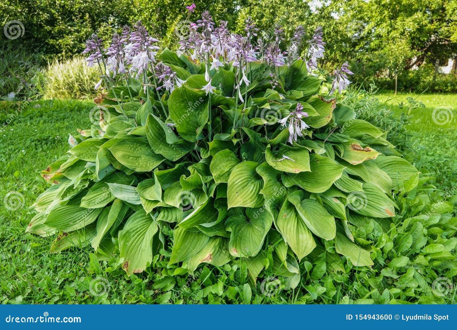 Piante Erbacee Perenni Da Ombra lat della hosta hosta in giardino hosta - genere delle