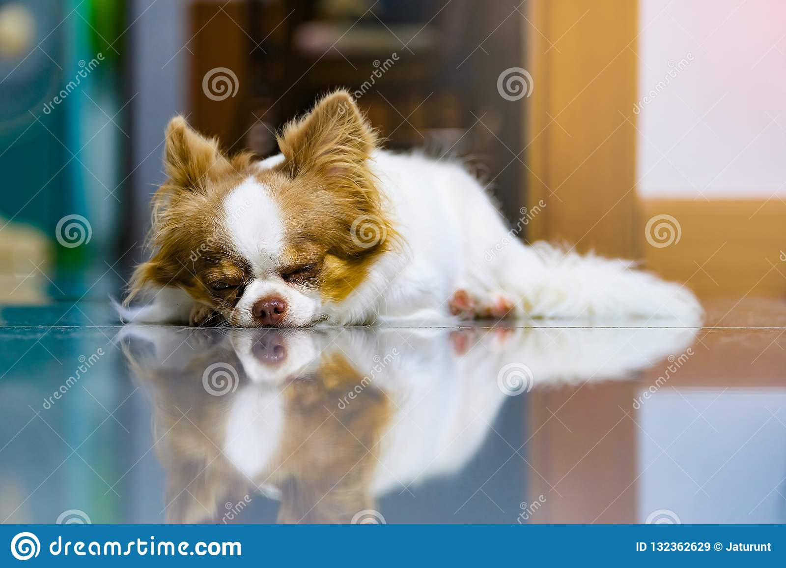 Lat hund, gullig brun och vit Chihuahua som sover och kopplar av på belagt med tegel golv