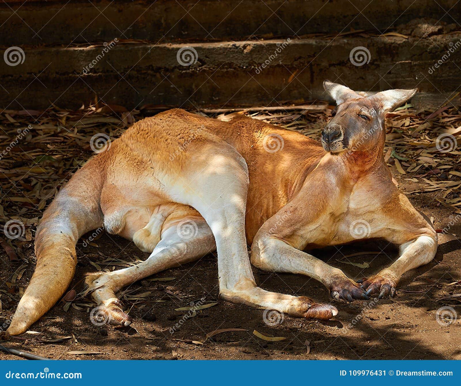 Lat rouge de kangourou Rufus de Macropus