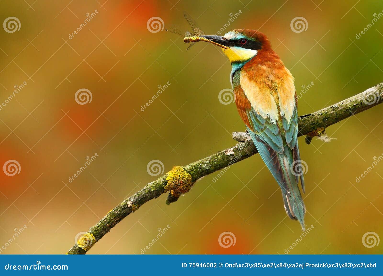 Lata colour Lata colour ptak w kwiatach Europejski zjadacz, Merops apiaster, piękny ptasi obsiadanie na gałąź z drago