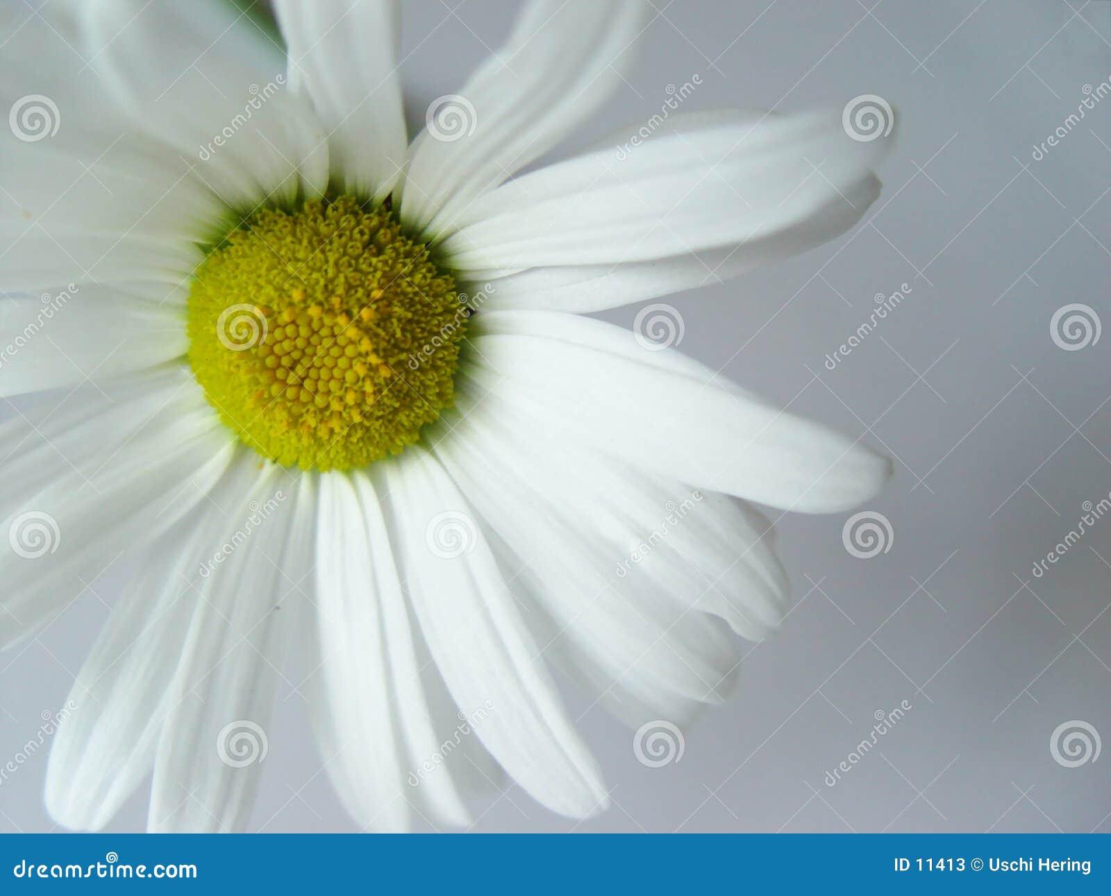 Lata daisy white