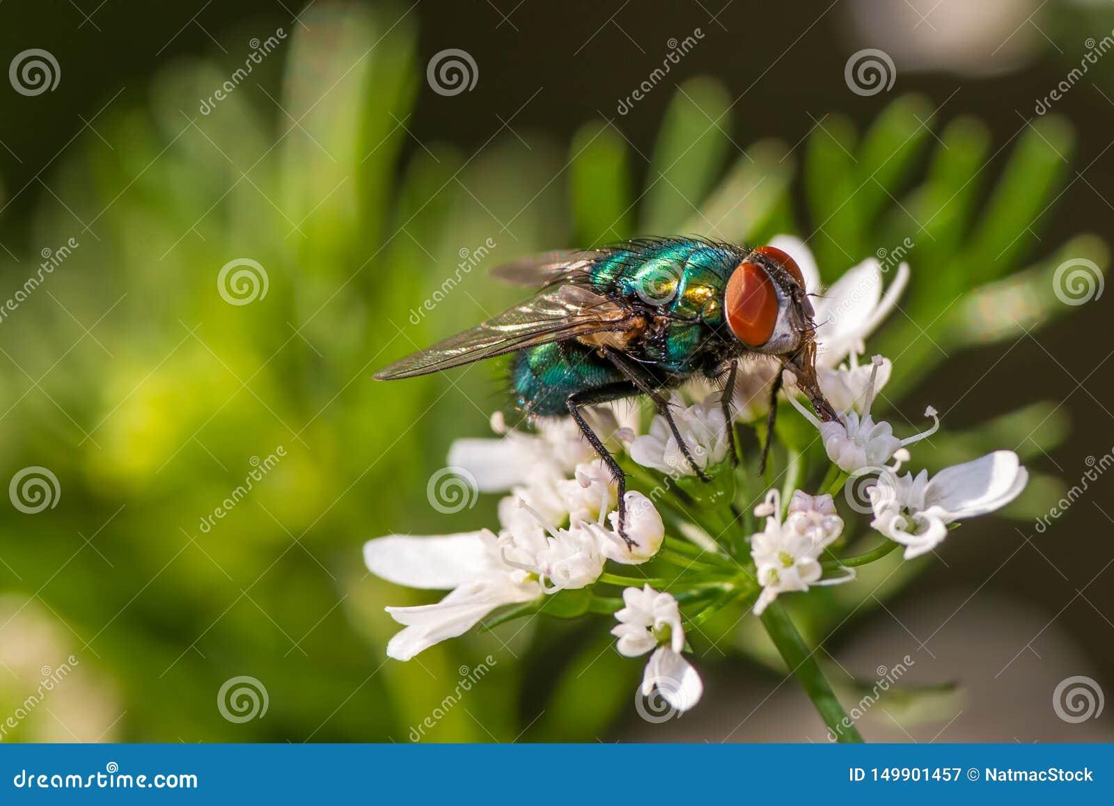 Lata na kwiacie - wielki szczegół twarz, dwuczłonowy oko i thorax,