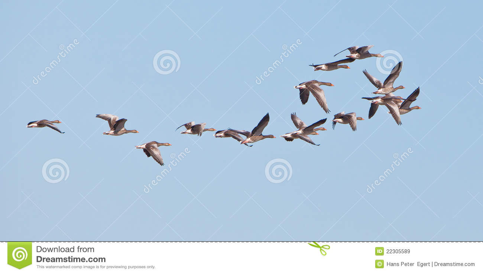 Latająca gąsek greylag grupa