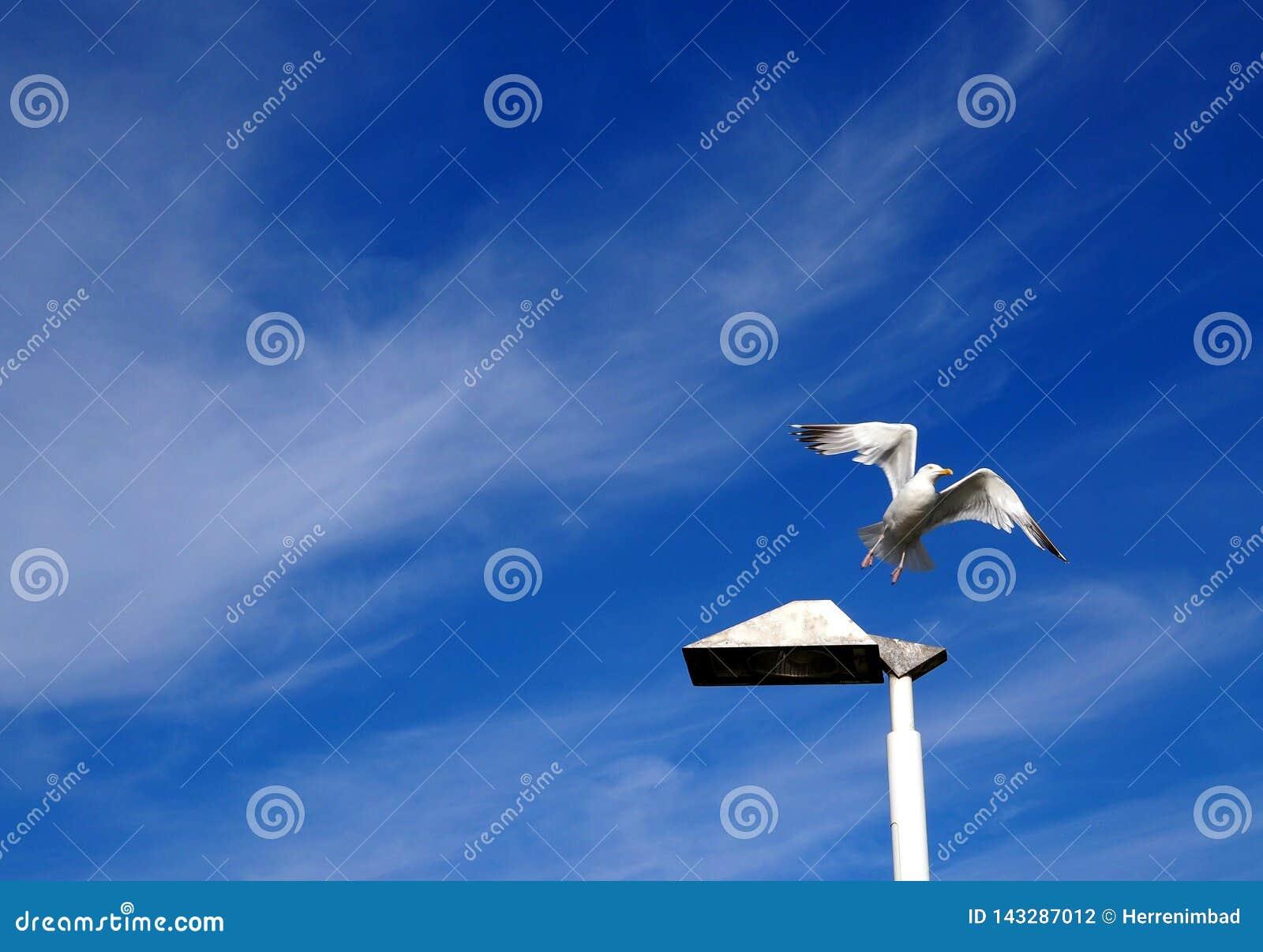 Latającego ptaka mewa niebo czyste