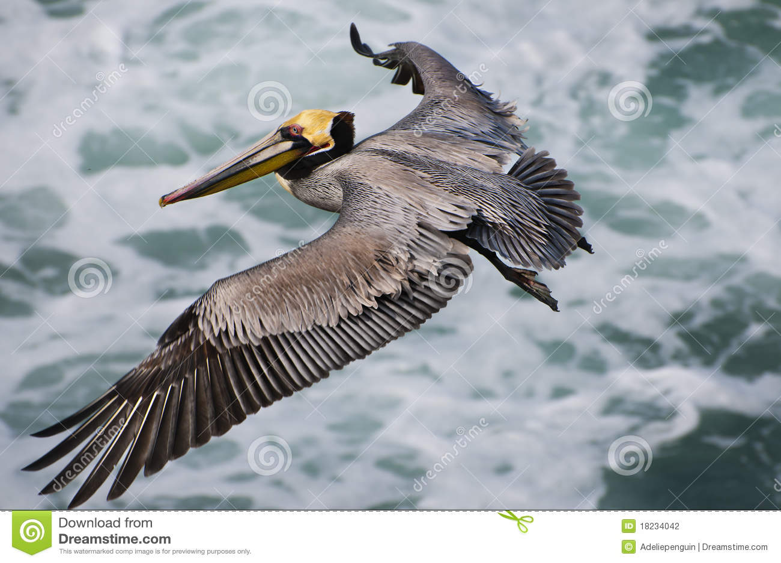 Latający California pelikan