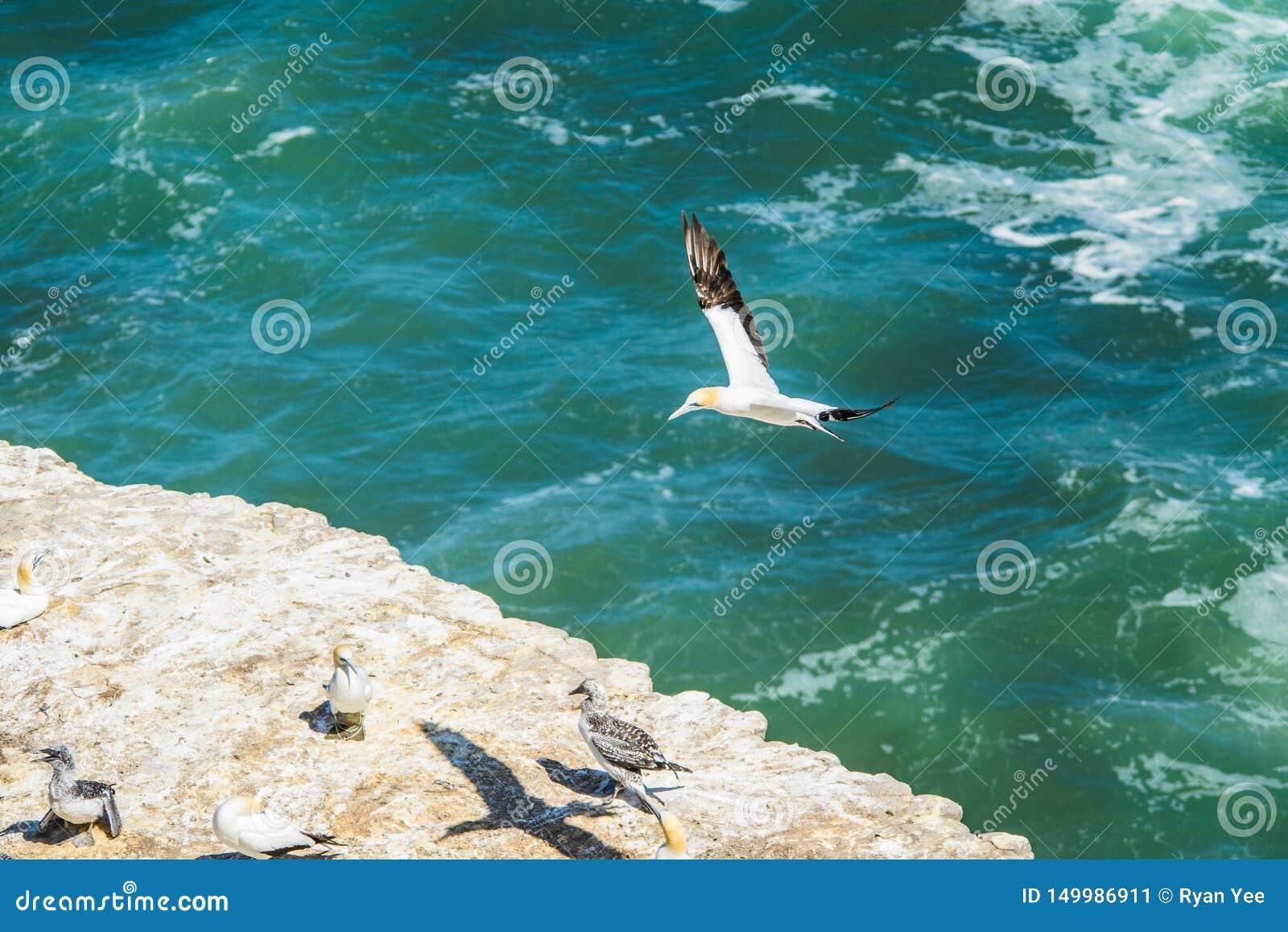 Latający gannet ptak