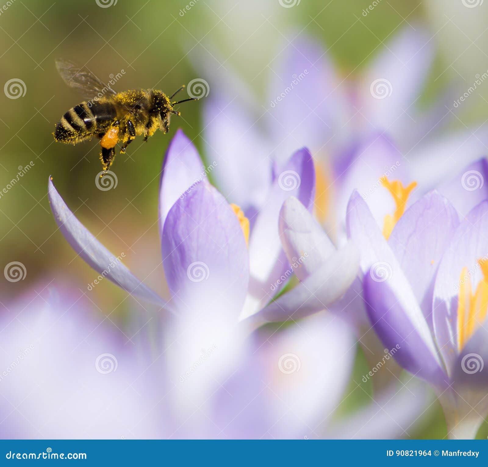 Latający honeybee zapyla purpurowego krokusa kwiatu