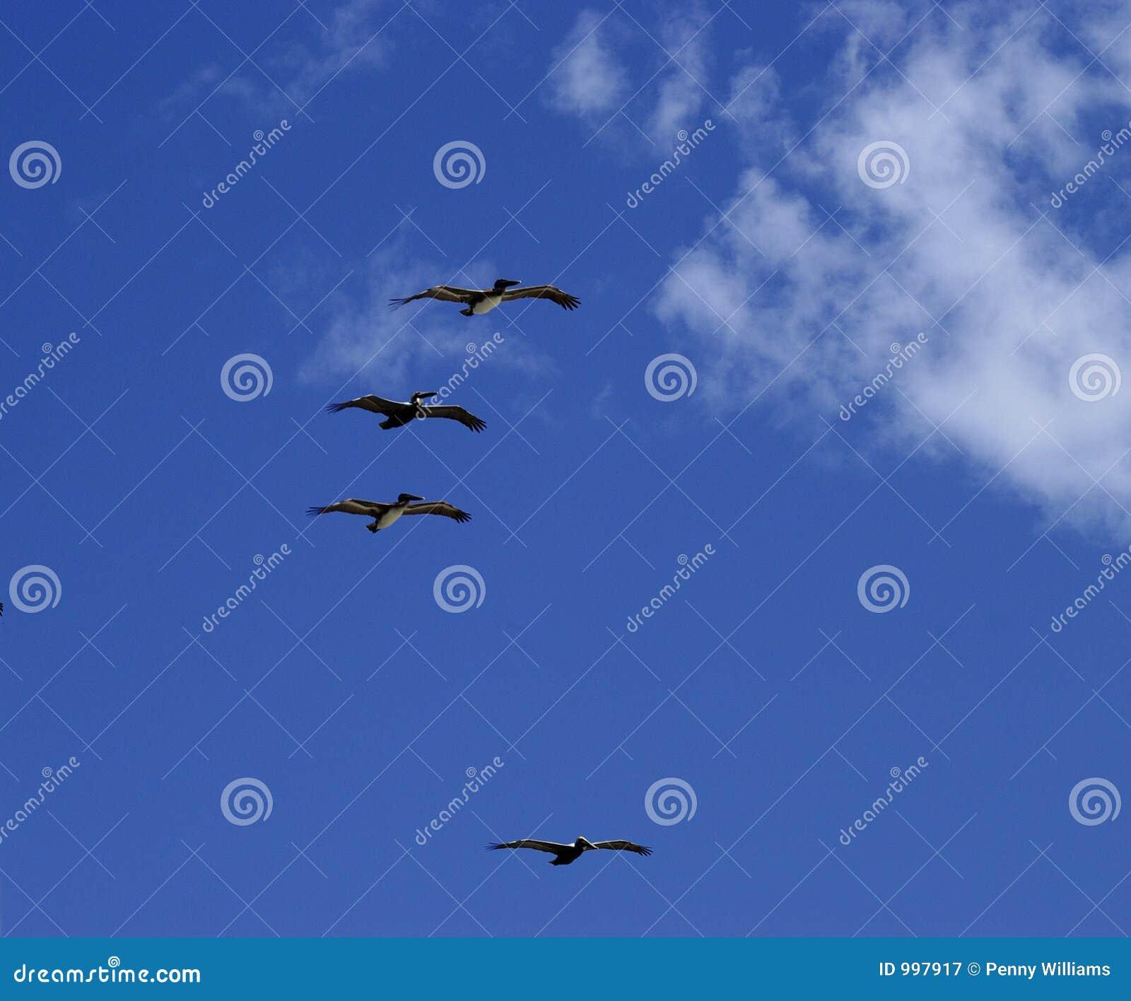 Latający pelikanów