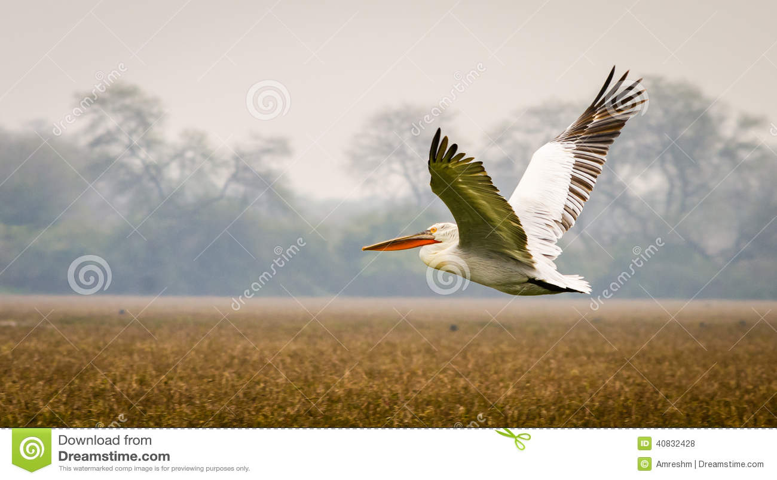 Latający pelikan