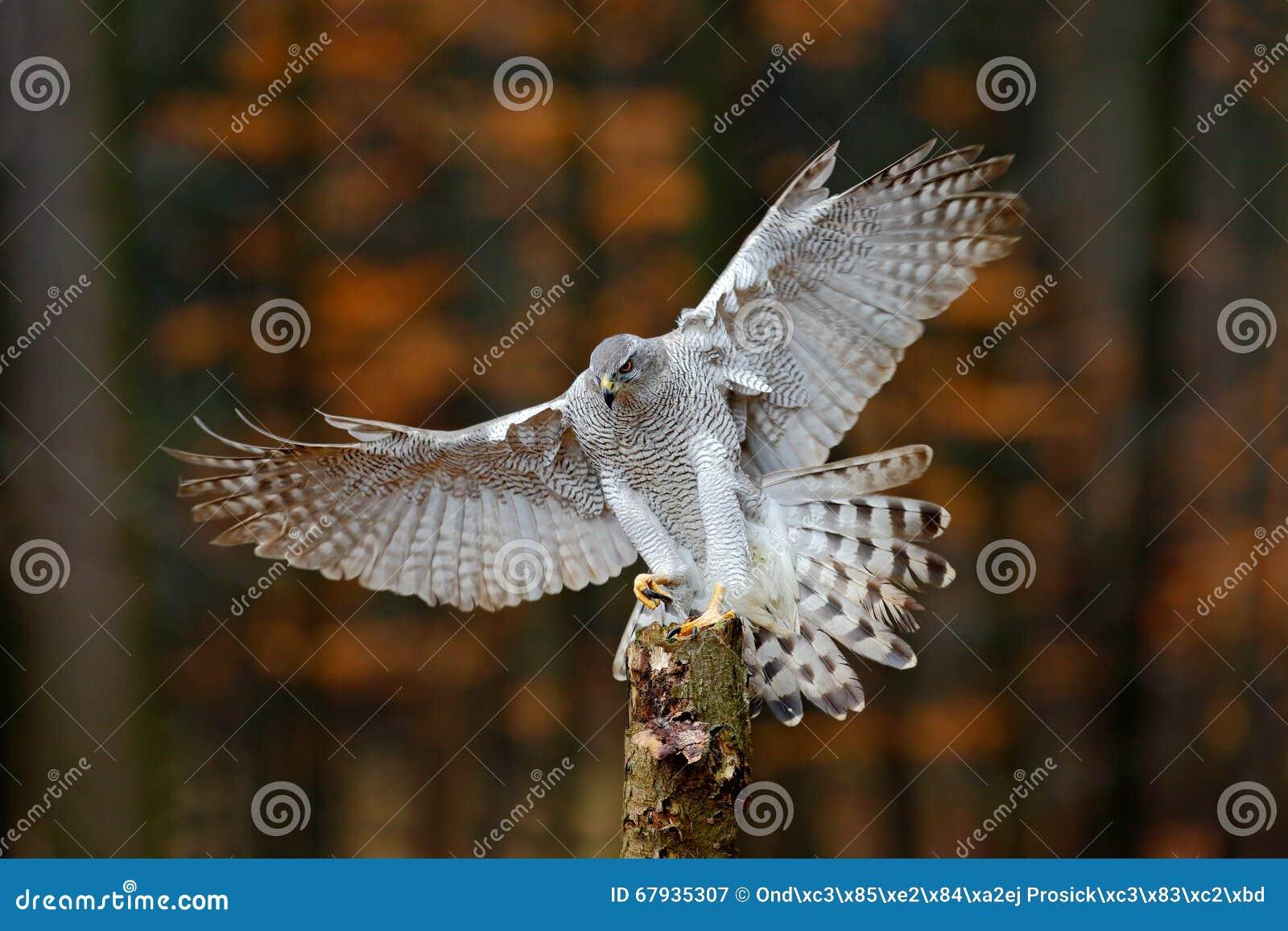 Latający ptak zdobycza jastrząb z zamazanej pomarańczowej jesieni drzewnym lasem w tle, ląduje na drzewnym bagażniku