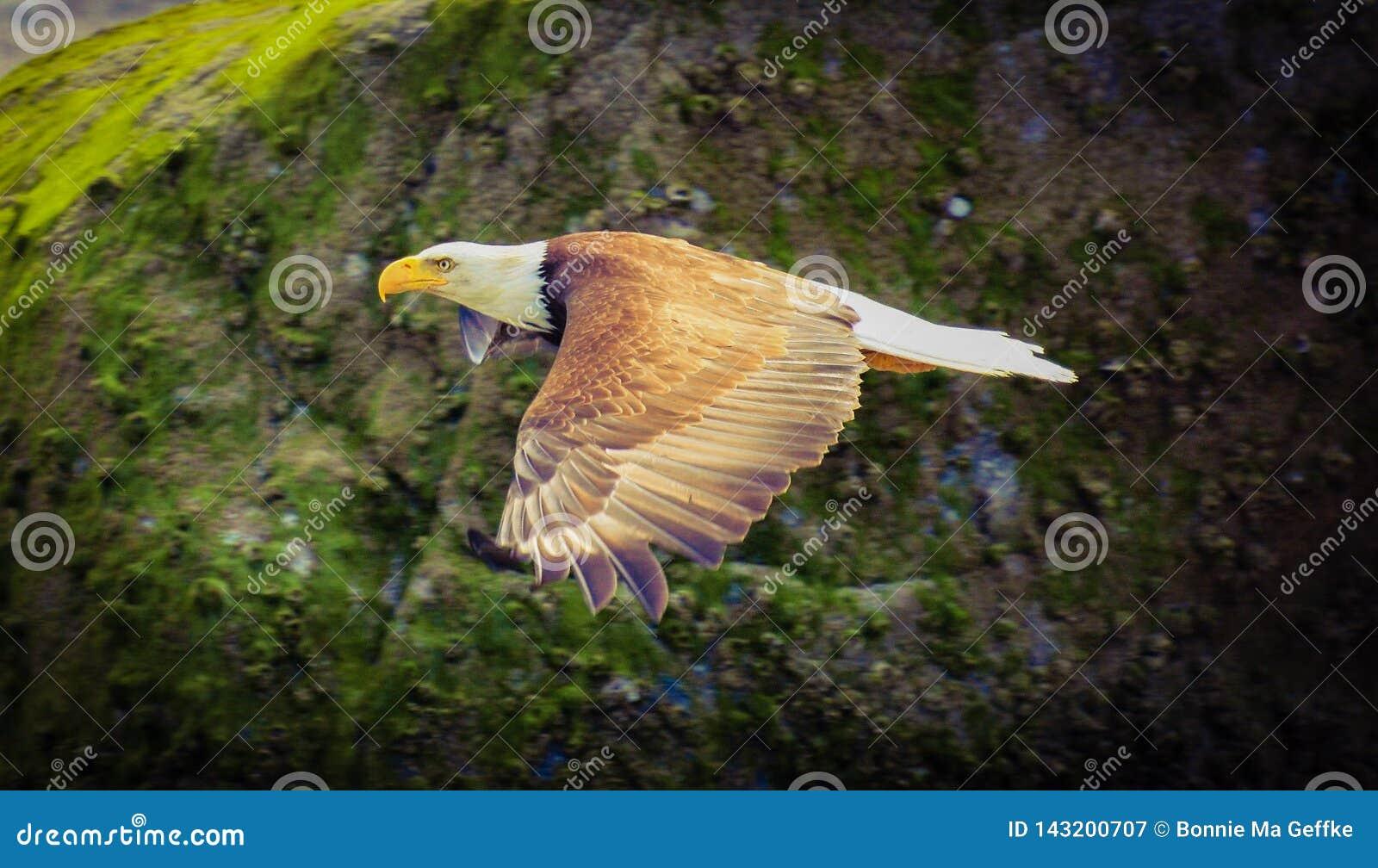 Latający Złoty Łysy Eagle