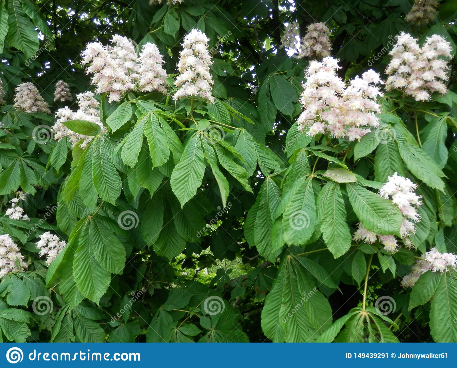 Late May Flowering Trees In Southern Denmark Stock Image Image