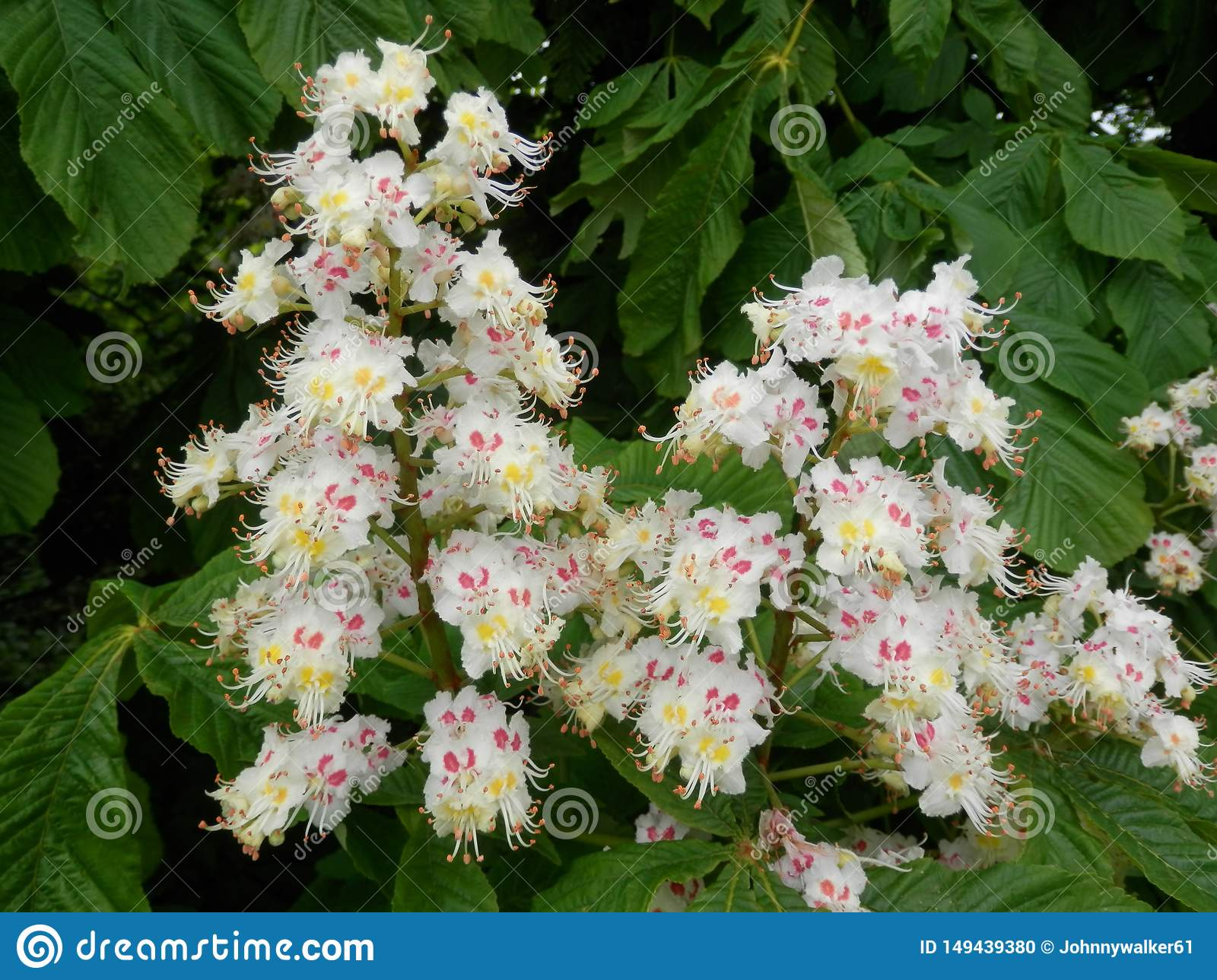 Late May Flowering Trees In Southern Denmark Stock Photo Image