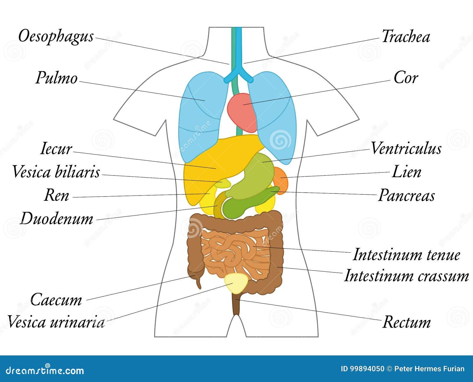 Latein Der Inneren Organe Bezeichnet Als Anatomie-Diagramm Vektor ...