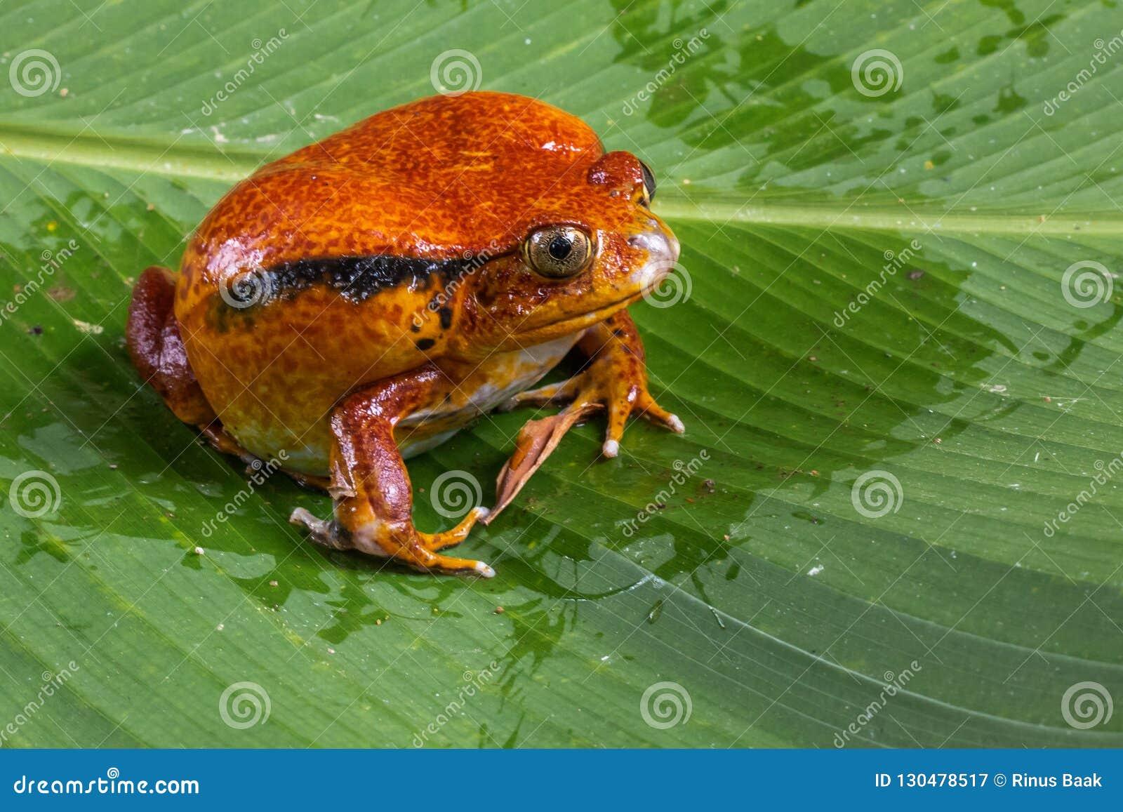 Lateinischer Name - Dicophus antongili