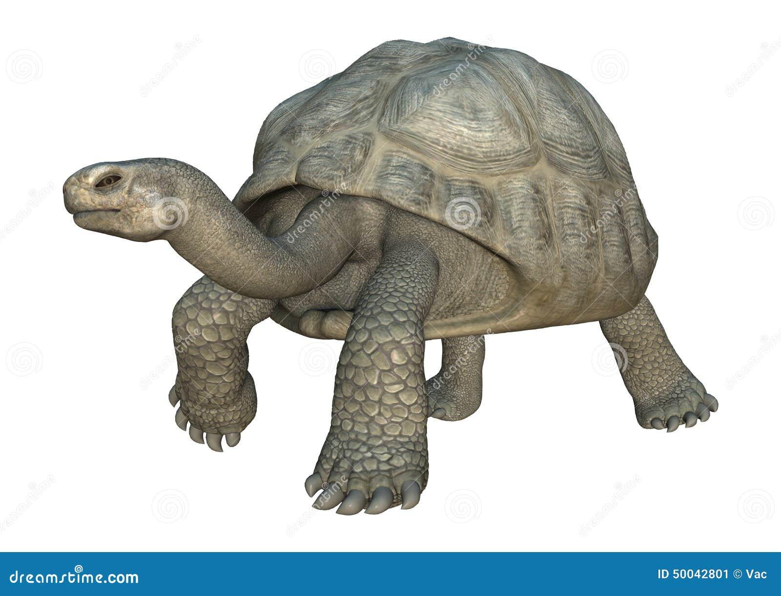 Lateinischer Name - Geochelone Nigra