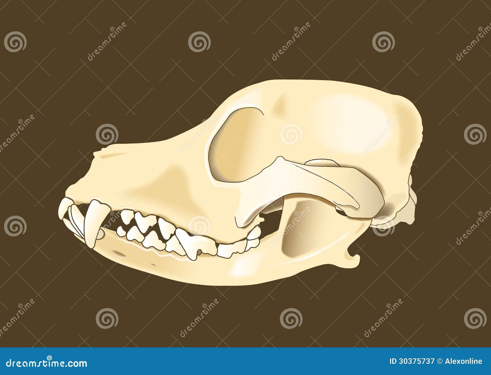 Lateral Del Cráneo Del Perro Ilustración del Vector - Ilustración de ...