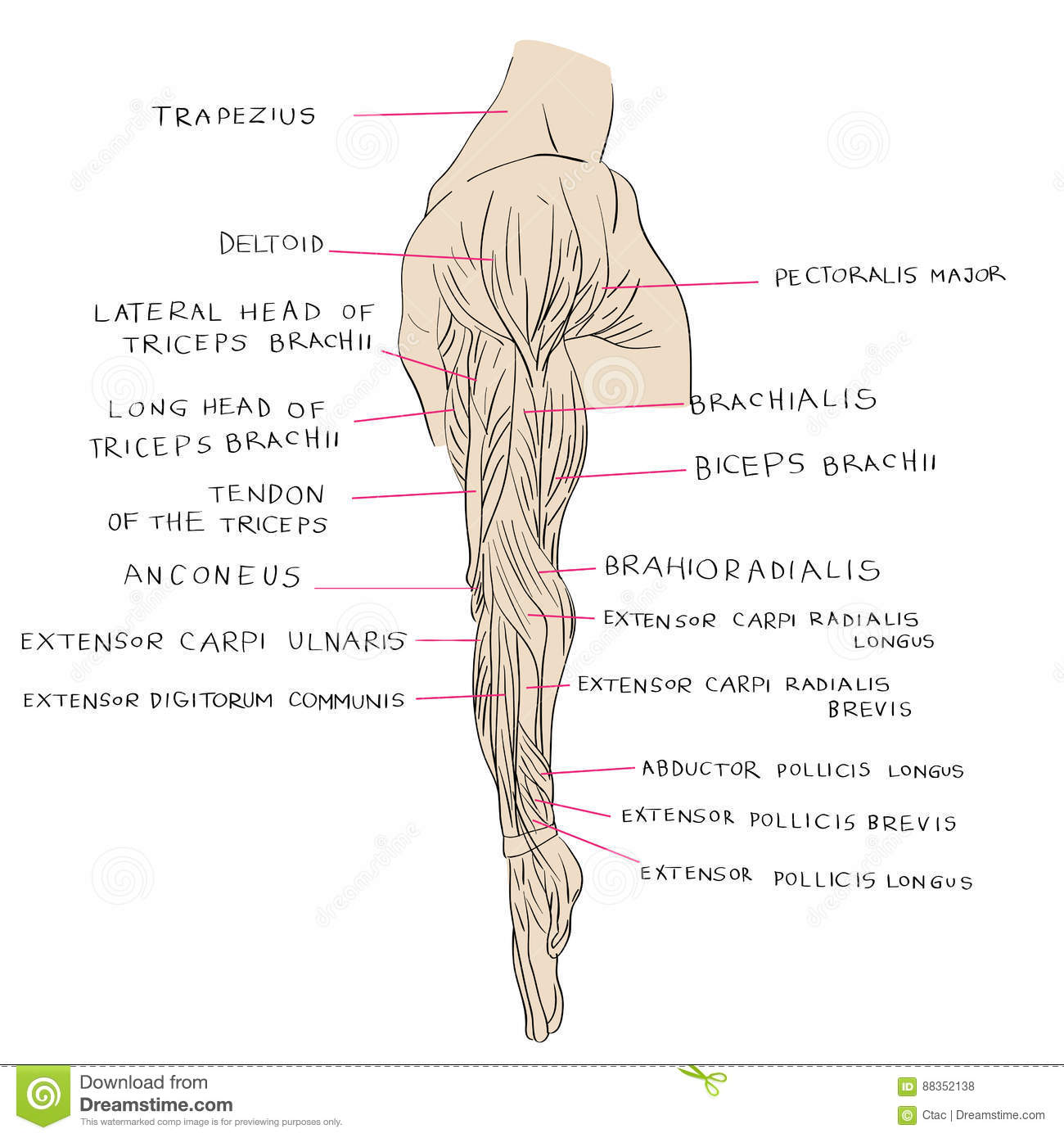 Lateral Muscles Of Arm Color Stock Vector Illustration Of Medicine