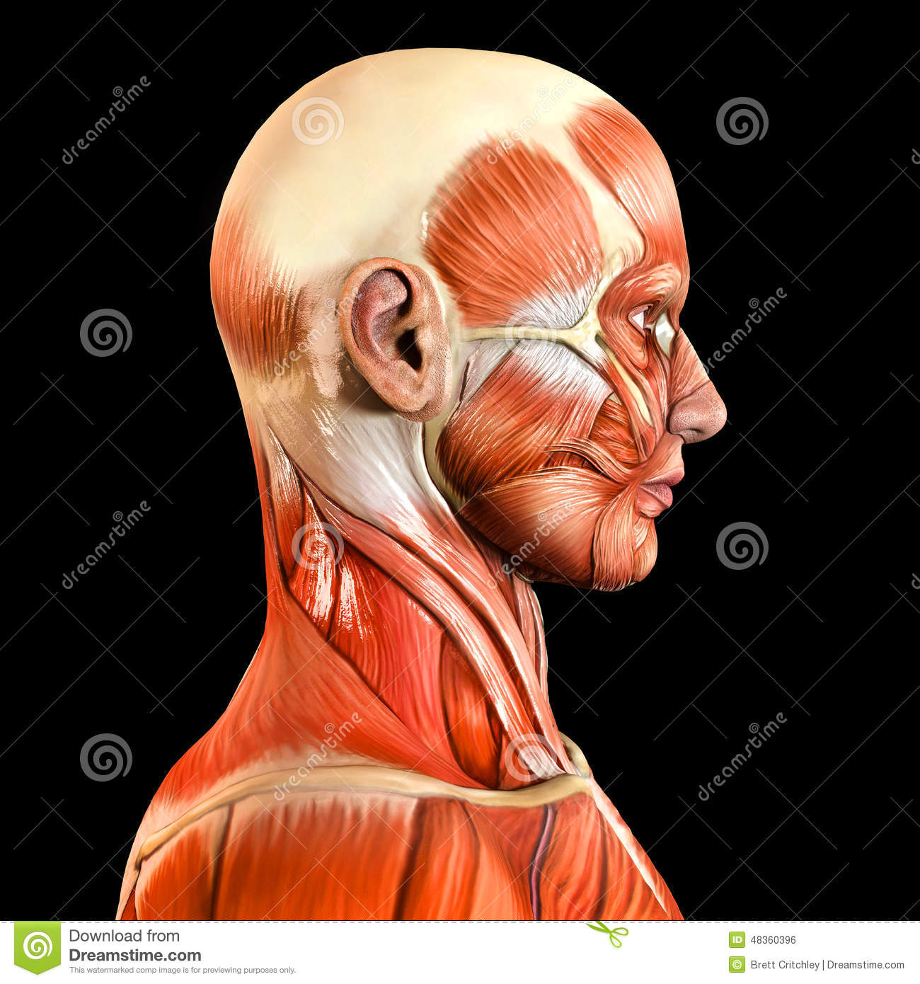 Lateral Side Facial Face Muscles Stock Photo - Image of side ...
