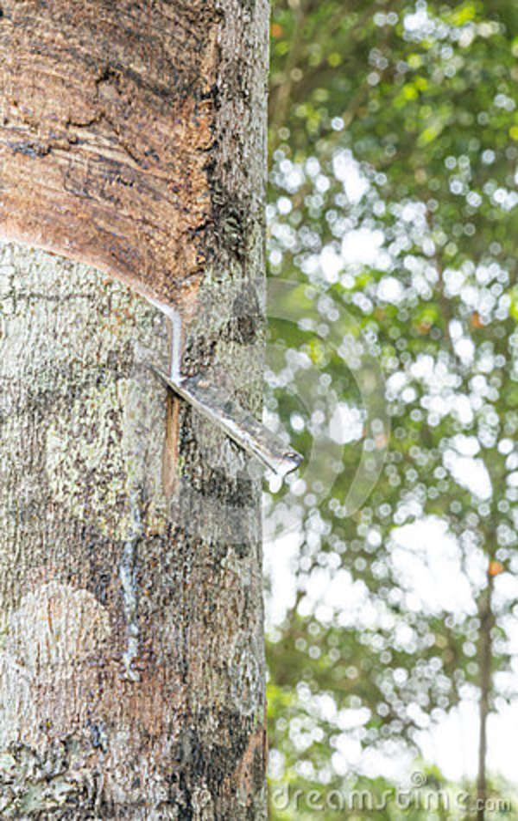 Latex laiteux extrait à partir de l arbre en caoutchouc, Loei, Thaïlande