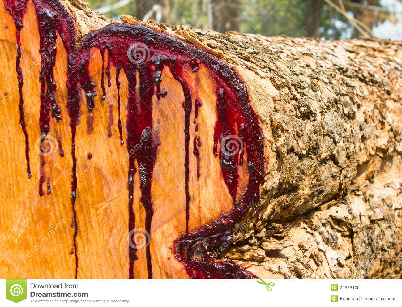Latex Transverse Section Of The Wood Is Stained Red Stock