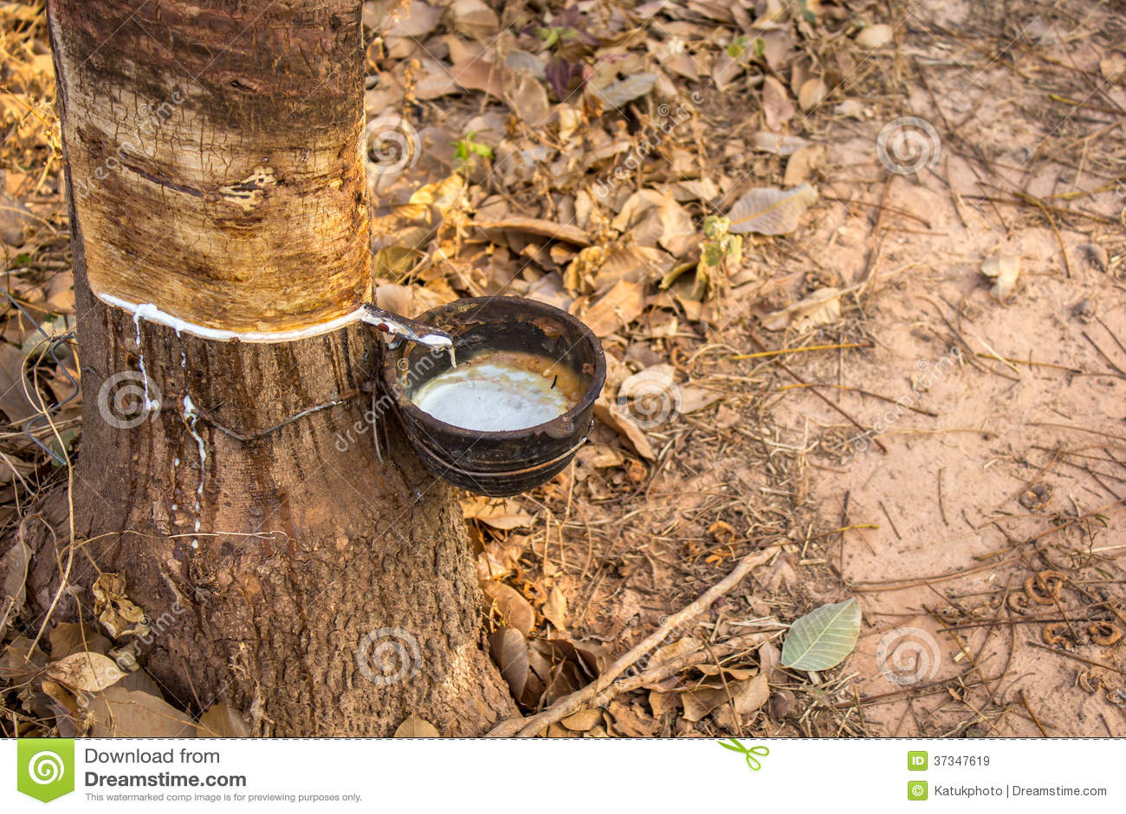 Latexgummiträd i skogen