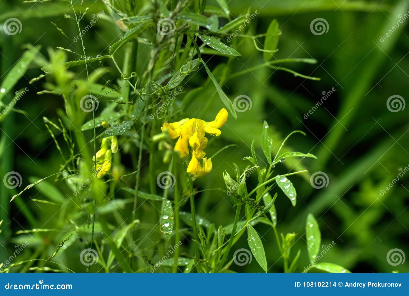 Lathyrus pratensis dziki kwiat
